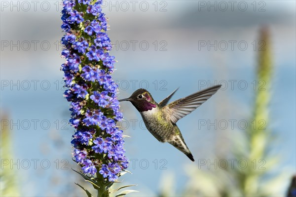 Anna's Hummingbird (Calypte anna) hovering at flower