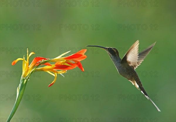 Dandruff imitation (Phaethornis eurynome) drinking at a flower