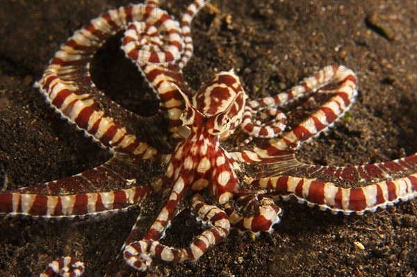 Mimic octopus Thaumoctopus mimicus on muck sand bottom in the Lembeh Strait