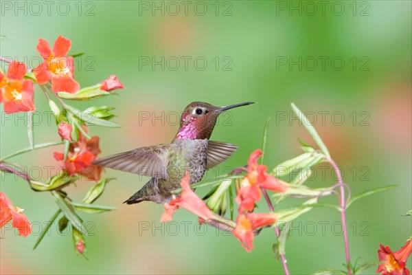 Anna's Hummingbird in Scarlet Monkey Flower