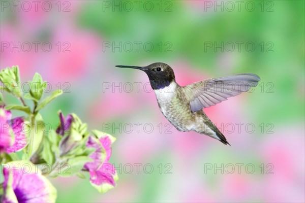 Black-chinned Hummingbird in Petunia x hybrida 'Pretty Much Picasso'