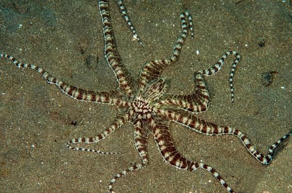 Mimic octopus, Thaumoctopus mimicus, Lembeh Strait Sulawesi Indonesia