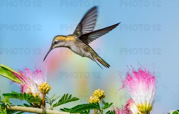 Female Ruby Topaz hummingbird feeding on the Calliandra flowers (powderpuff flowers).